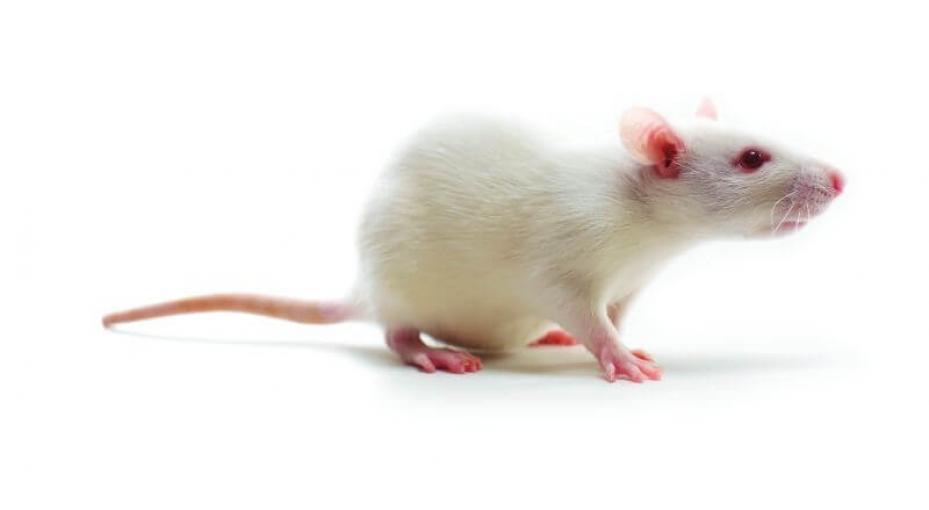 Rat albino white