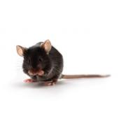 Apolipoproteīna E prekursora (ApoE) peles