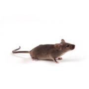 C3H/J Mouse (JAX™), C3H/HeOuJ