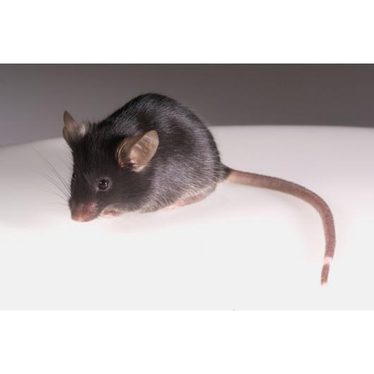 Imūndeficīta BRGSF peles modelis