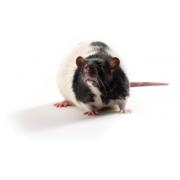 Zucker Diabetic Sprague Dawley ZDSD rat, ZDSD/PcoCrl