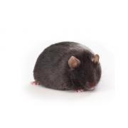 Db/db diabētiskās JAX peles, BKS.Cg-Dock7m+/+Leprdb/J