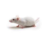 BALB/cByJ Mouse (JAX™), BALB/cByJ